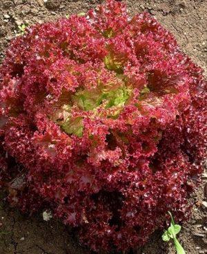 agroneretva- Salata Lolo Rosso