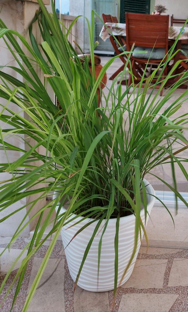 Agro-Neretva limunska trava