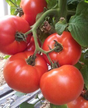 agro-neretva rajčica signora F1