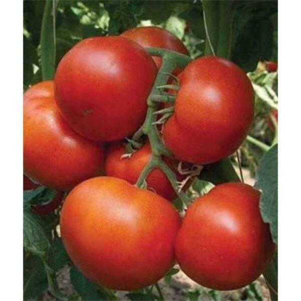 agro-neretva rajčica panekra f1
