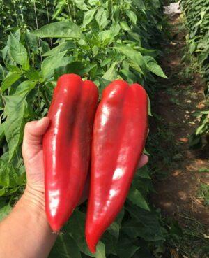 Agro-Neretva Paprika vitalika f1